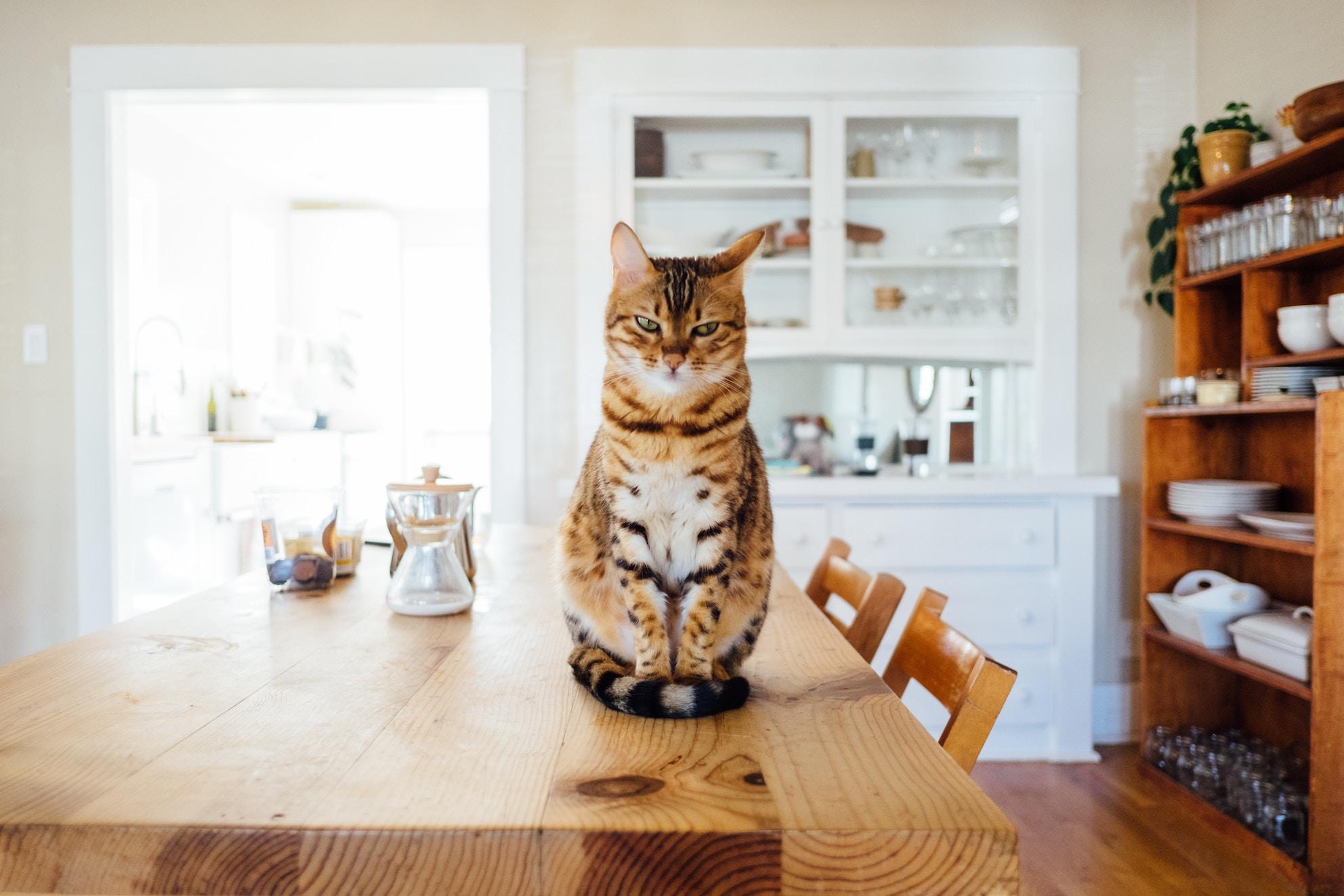 Katze mit skeptischem Gesichtsausdruck sitzt auf einem Holztisch, im Hintergrund ein Küchenschrank mit Geschirr