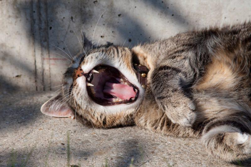 Eine gähnende Katze liegt im Sonnenschein auf dem Asphalt.